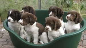 Drentse Patrijshond pups. Schattig! <3