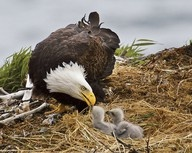 BeautifulMothers, The Eagles, American Eagles, Bald Eagle'S, Baby,  American Eagle'S, Bald Eagles, Birds, Animal