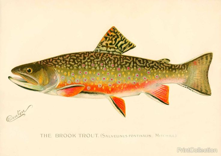 This chromolithograph of The Brook Trout. (Salvelinus Fontinalis. Mitchill.) Created by artist S. F. Denton (Sherman Foote) born in 1856 and died in 1937 Well known for his exquisit drawings of fish,