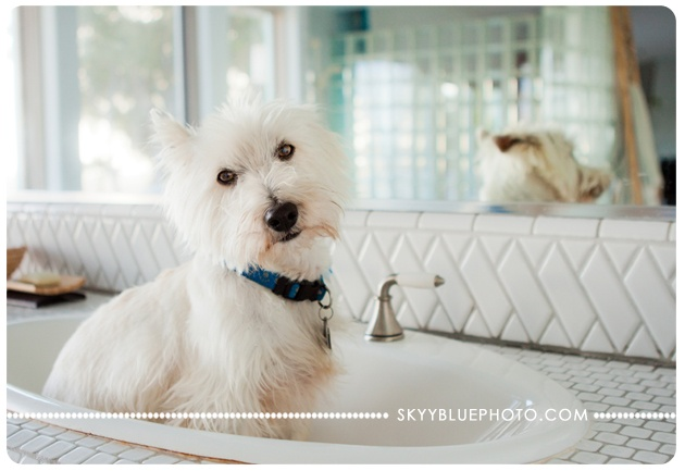 Little white dog sitting in sink with reflection in mirror.