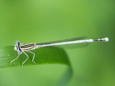 White-legged Damselfly: a damsel in distress | Nature Notes