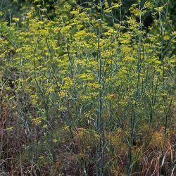 Foeniculum vulgare, Hinojo. Planta perenne, glabra, glauca, bienal o perenne, aromática, con tallos que alcanzan los 250 cm, erectos, estríados y ramificados en la...
