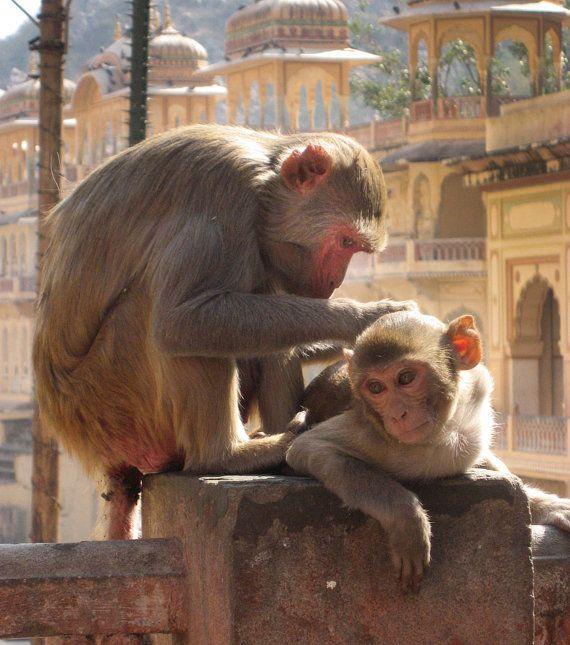 Monkey Love Jaipur Rajasthan India 8X10 Photograph chamelagiri.etsy.com