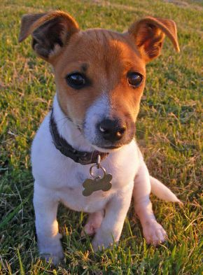 ♥PUP♥ 104 SMOOTH FOX TERRIER BEAGLE MIX PUPPIES | Harley the Jack Russell Terrier Mix Pictures 746357