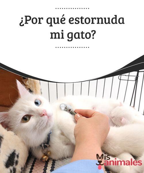 ¿Por qué estornuda mi gato?  El cariño que sentimos por nuestra mascota nos lleva a preocuparnos en cuanto nos parece percibir que algo no marcha bien. Claro que muchas veces nos alarmamos de manera innecesaria. Sin embargo y por desgracia, en otras ocasiones sí teníamos razón.