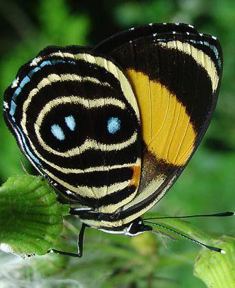 Eighty-eight Butterfly (Callicore tolima) by Kim Garwood
