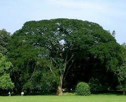 Bengamine tree srilanka.contact us.susantha2803@gmail.com