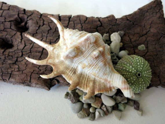 SALE  Spider Conch Lambis Seashell 4 by MrsBeachComber on Etsy