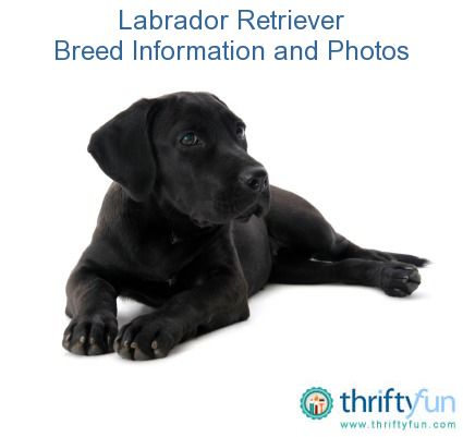 This guide contains Labrador retriever breed information and photos.  Labrador retrievers are a large, friendly and versatile sporting dog breed.