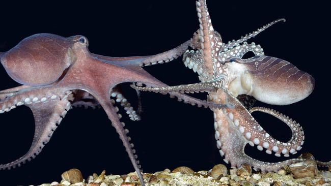 Instead of mating, female octopuses will sometimes strangle males and eat them (!)