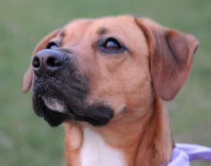 Please Read First... is an adoptable Boxer Dog in Briarcliff Manor, NY. Sweet Elle Opi was rescued from a high kill shelter. She is being fostered by our sister rescue group, For the Love of Dogs in B...