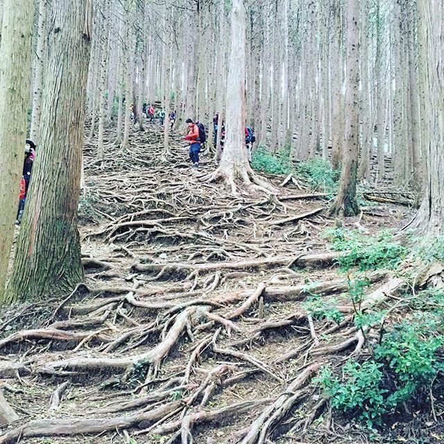 【tana.emiemi】さんのInstagramをピンしています。 《棒ノ折山  #山 #木の根っこ #木の根っこが階段  #山ガール #登山 #登山女子  #棒ノ折山 #森》