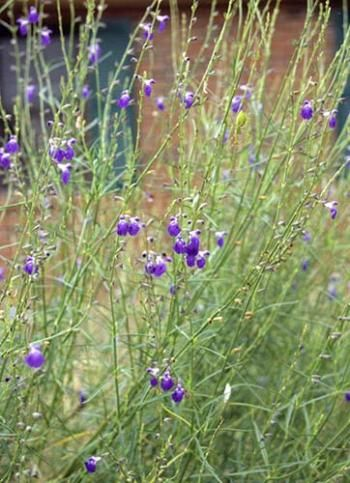 Salvia reptans West Texas Form (West Texas Cobalt Sage) from Plant Delights