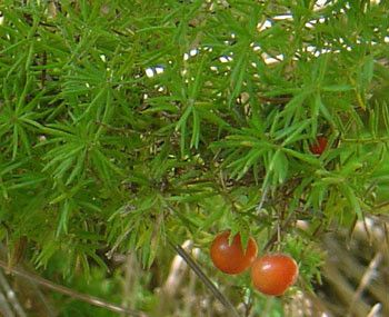 Asparagus Fern Seeds (Asparagus densiflorus) + FREE Bonus 6 Variety Seed Pack - a $30 Value!