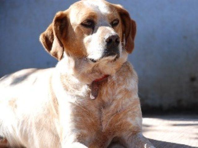 Neo es un bretón muy cariñoso con las personas pero sin molestar. Con los demás perros es sumiso...