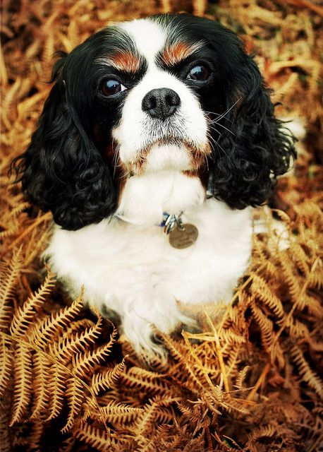 Cavalier King Charles Spaniel Dogs | Cavalier King Charles ...