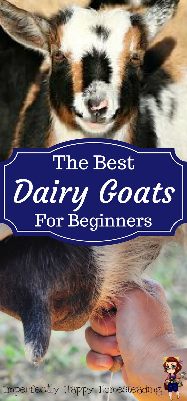 The Best Dairy Goats for Beginners on your homestead, backyard farm or hobby farm.