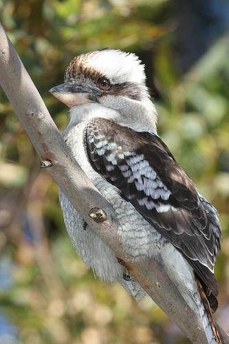 Laughing Kookaburra--Definitely my new favorite bird.