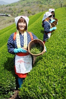 Mitoyo Kagawa, Japan - April 23: Young japanese women with traditional clothing kimono harvesting tea leaves on hill of tea plantation on April 23, 2012 Mitoyo Kagawa, Japan.