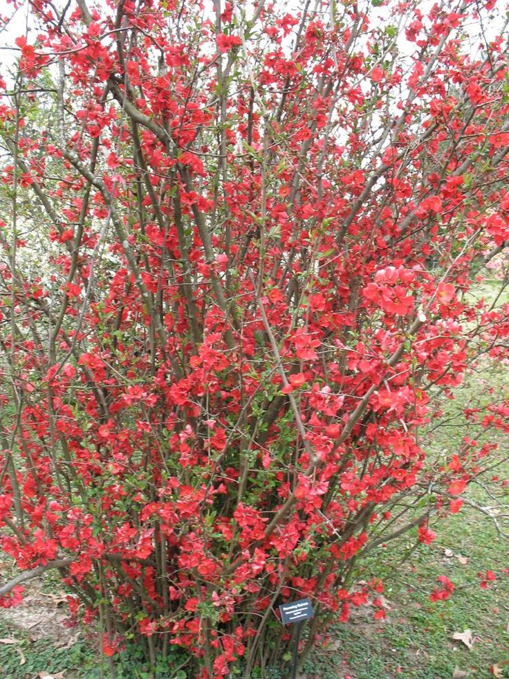 "Flowering Quince / ATTRACTS: Butterflies.  Plant with Butterfly Bush which also attracts Butterflies.  Plant where you can see from your favorite window.  Drought resistant. ""Red"" Flowering Quince will also attract Hummingbirds."