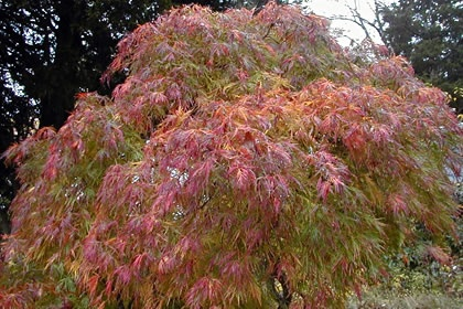 Chinese Maple Tree!  Love them!!