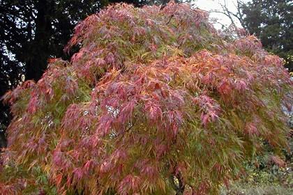 Chinese Maple Tree!  Love them!!