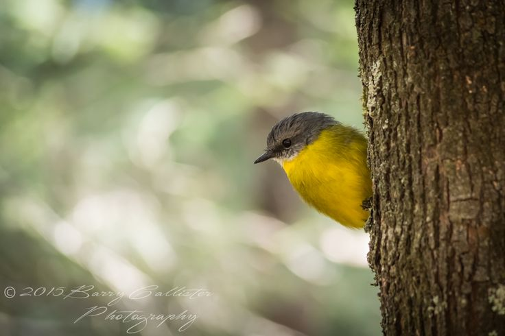 An Eastern Yellow Robin eyeing off its next bite to eat.