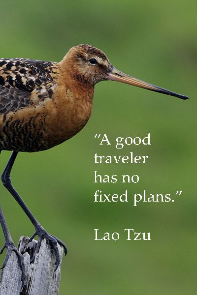 """A good traveler has no fixed plans."" --Lao Tzu --  On image of black tailed godwit in Iceland by Dr. Joseph McGinn -- -- Explore more quotes and image themed on artistic wanderlust at http://www.examiner.com/article/artistic-wanderlust-journey-through-words-and-images"