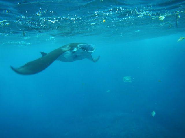 新・バリの素(もと): マンタと泳ぐ感動と、目の当たりにしたゴミ問題、ペニダ島シュノーケリング(nusa penida)