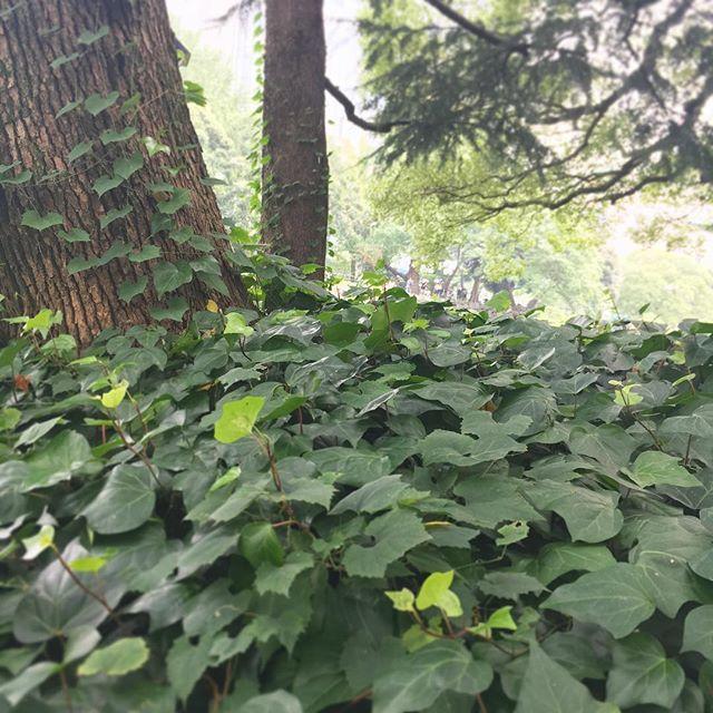 【hibiyapalace】さんのInstagramをピンしています。 《日比谷公園お散歩シリーズ⑩ だんだんと緑が深くなってきました… まるで森の中にいるようです♡  #日比谷パレス #日比谷公園 #日比谷 #お散歩 #秋の訪れ #マイナスイオン #都会の #森 #ガーデンウェディング #レストランウェディング #プレ花嫁 #結婚式 #公園 #自然 #植物 #癒しの場所 #hibiyapalace #hibiyapark #hibiya #wedding #garden》