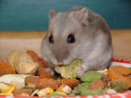 Winter White Dwarf Hamster