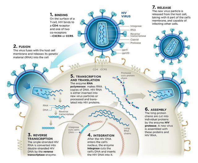 HIV Life-Cycle | Flickr - Photo Sharing!