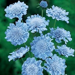 'Butterfly Blue' Scabiosa Scabiosa plants and species  Grown for the attractive flowers that appear in masses from summer through to autumn, Scabiosa are an easy care garden plant for tough conditions. Also known as the 'Pin cushion Flower' give them a little space in the garden and they will reward you with a long flowering, easy care plant.  Scabiosa are an evergreen perennial, sun to part shade, well drained soil rich in humus. Mulch well to retain moisture. Scabiosa grow in a clump 30cm…
