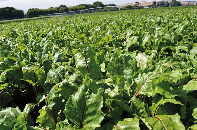Global Demand Rises For Beetroot