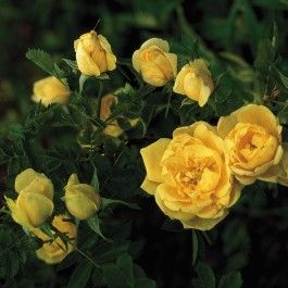 Persian Yellow', en rose fra Lundeby Gartneri
