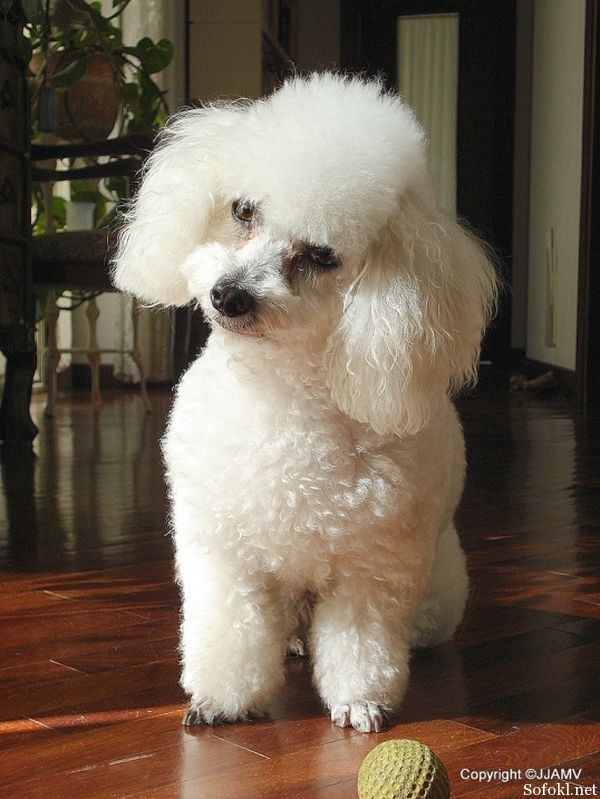 Adorable White Toy Poodle Dog Baby Golfian Com Poodle Puppy