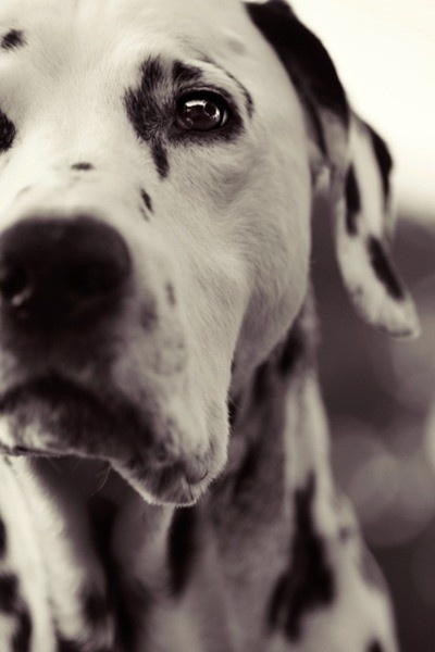 dalmatian. such a noble looking dog :)
