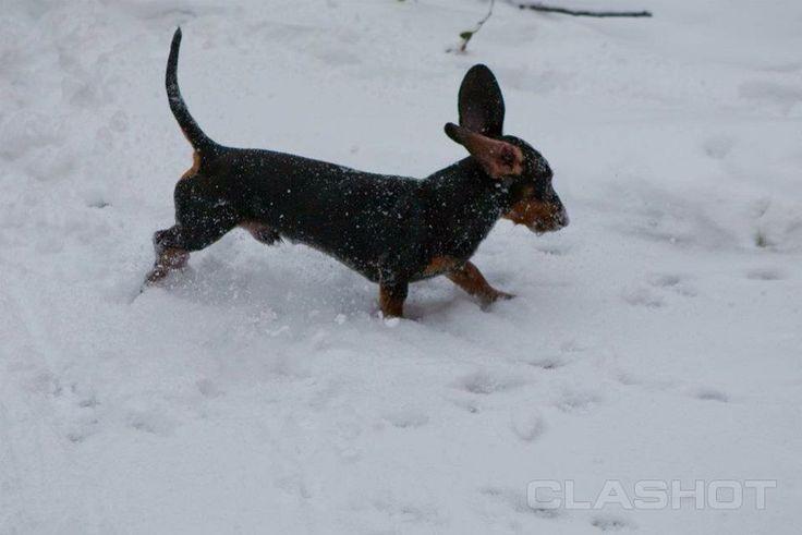 Dog is running, ears, dachshund, dog in a snow, funny dog, собака бежит по снегу, такса зимой, уши вверх, смешная собака - Stock Image on Cl...
