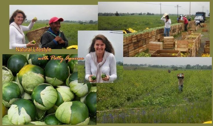 """Delicious green tomatoes.They are MEXICO.A strong link with our prehispanic culture.Here at the plantation while harvesting.From here, our mexican farmers bring this delicious fruit to our tables. Let's make the 'Reconnection"""" with Mother Earth!.Lots of health benefits from this fruit:Antioxidant Vitamins,Vitamins K and B-Complex & an alkaloid called tomatine, which may effectively fight cancer cells ♡♡"""