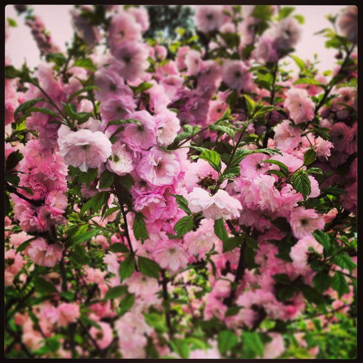 Blooming tree at my garden. May, 2013.
