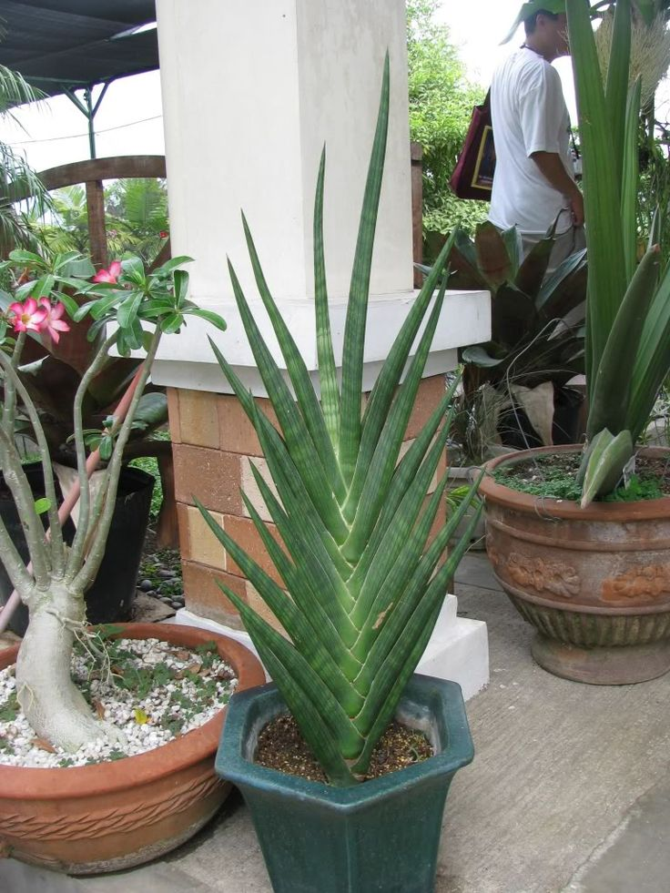 376 Best Images About Sansevieria On Pinterest Snake