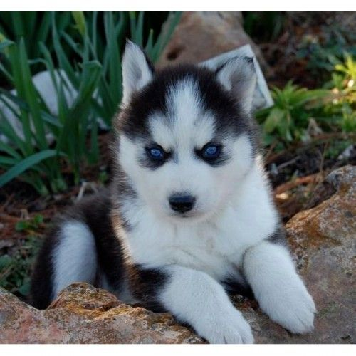 So precious!! Siberian husky puppy