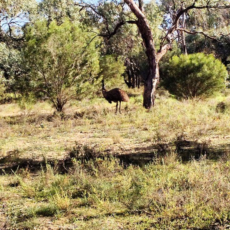 Wild Emu at Hattah-Kulkyne national park