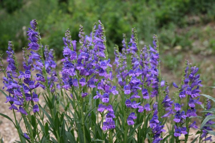 17 best images about colorado native plants on pinterest