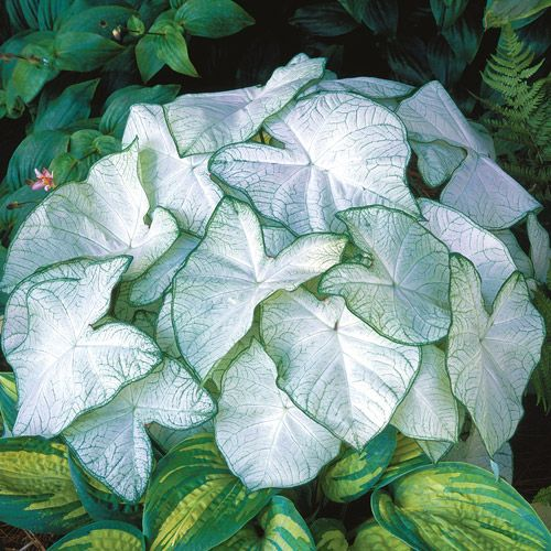 Caladium 'Moonlight'. This caladium would really light up the interior of a shade garden.