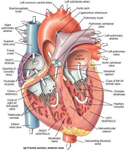 Pin by KateHuff on EKG ❤️ | Anatomy, physiology, Heart