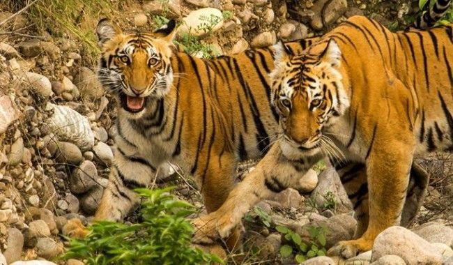 Jim Corbett Tiger Safari >>>#Wildlife #Ramnagar #TigerSafari #JimCorbett