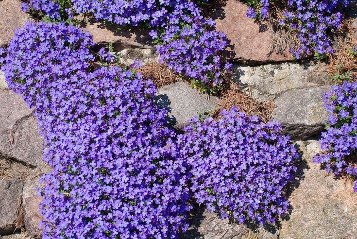 17 best images about aubrieta on pinterest gravel garden perennial ground cover and royalty. Black Bedroom Furniture Sets. Home Design Ideas