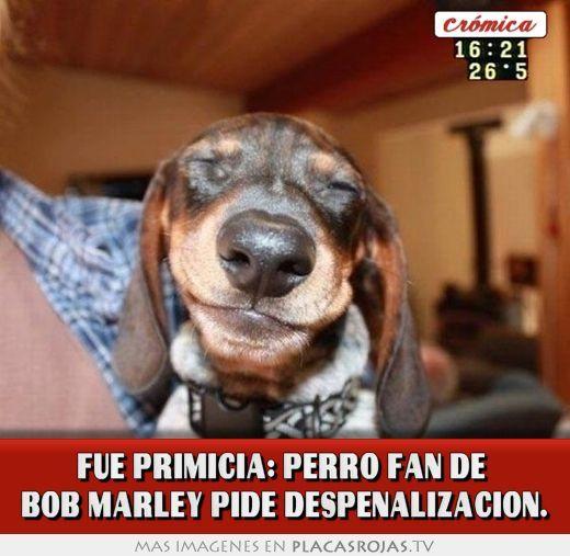 Fue primicia: Perro fan de  bob marley pide despenalizacion.
