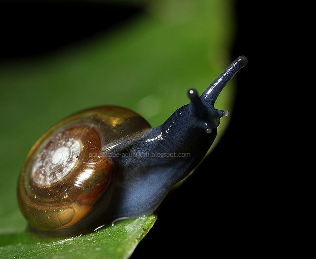 17 best images about freshwater snail photos on pinterest for Fish tank snails